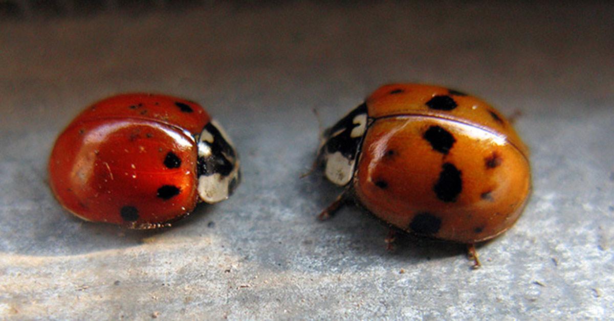 asian lady beetle and ladybug