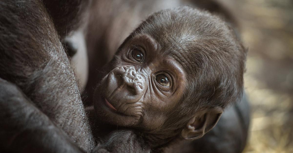 Six-week-old baby of a Western lowland gorilla