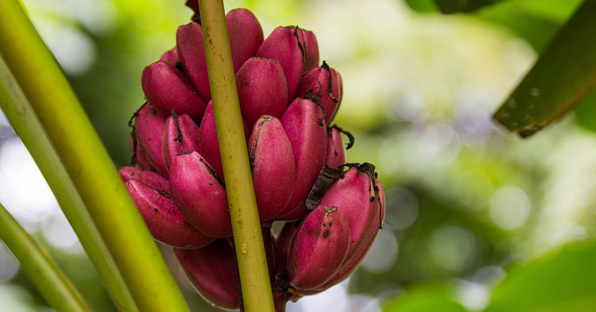 red banana trees