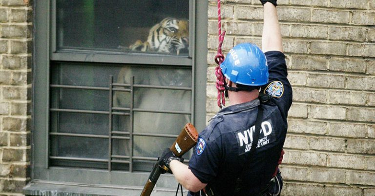 tiger in an apartment