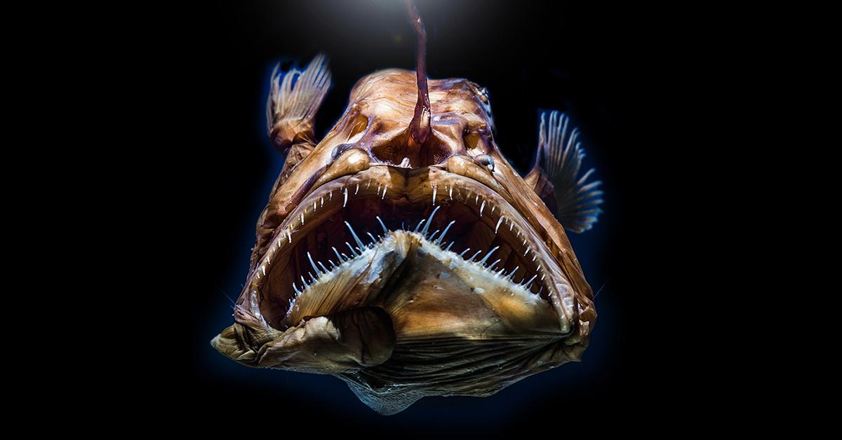 deep sea female anglerfish