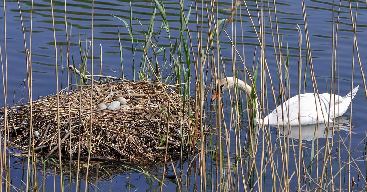 swan's eggs